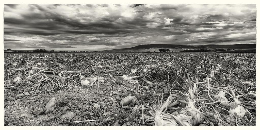 Ash Mesa Onion Harvest
